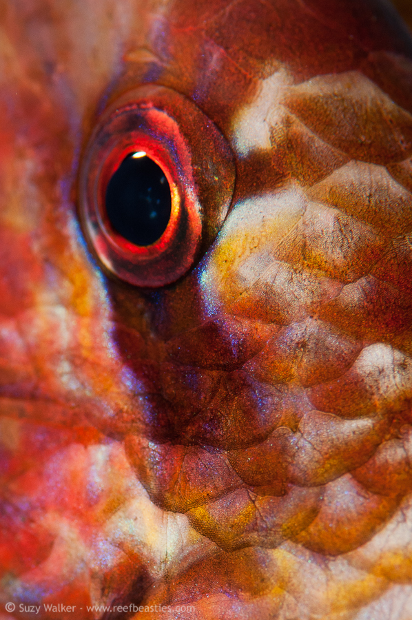 Sleeping Goatfish eye