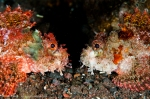 Horizontal - Two scorpion fish face off